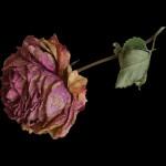 Feng shui i suho cvijeće